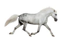 Cavalo branco isolado Imagens de Stock Royalty Free