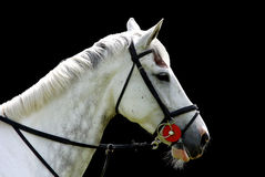 Cavalo branco isolado no fundo preto Imagens de Stock Royalty Free