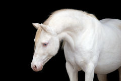 Cavalo branco isolado no preto, pônei de galês Fotografia de Stock Royalty Free