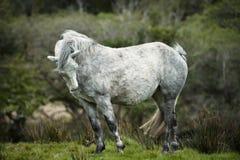 Cavalo branco muito velho Fotos de Stock