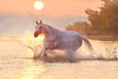 Cavalo branco na água Imagens de Stock Royalty Free