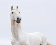 Cavalo branco na chave elevada Fotos de Stock Royalty Free