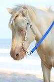 Cavalo branco na praia Foto de Stock Royalty Free