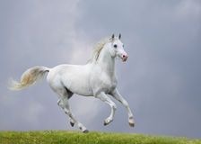 Cavalo branco no campo Imagens de Stock