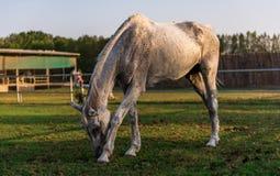 Cavalo branco no campo Foto de Stock