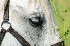 Cavalo branco no campo com girassóis Foto de Stock Royalty Free