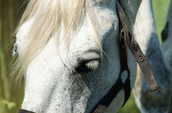 Cavalo branco no campo com girassóis Fotografia de Stock Royalty Free