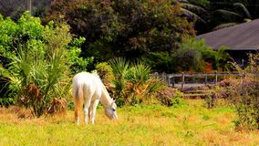 Cavalo branco no campo, Florida Fotografia de Stock Royalty Free