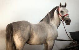 Cavalo branco no chiqueiro Foto de Stock Royalty Free