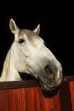 Cavalo branco no estábulo do rancho Imagem de Stock