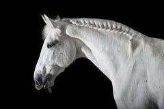 Cavalo branco no fundo preto Fotos de Stock