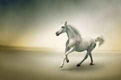 Cavalo branco no movimento Fotografia de Stock Royalty Free