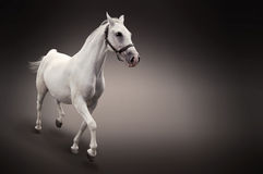 Cavalo branco no movimento isolado no preto Fotos de Stock