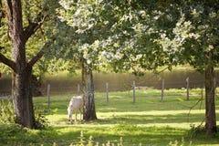 Cavalo branco no pomar. Imagem de Stock