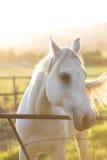 Cavalo branco no por do sol Fotos de Stock Royalty Free
