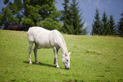 Cavalo branco no prado Fotos de Stock Royalty Free