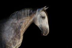 Cavalo branco no preto Imagem de Stock Royalty Free