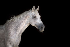 Cavalo branco no preto Foto de Stock Royalty Free