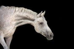 Cavalo branco no preto Fotos de Stock