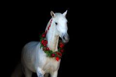 Cavalo branco no preto Imagens de Stock Royalty Free