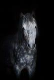 Cavalo branco no preto Foto de Stock