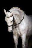 Cavalo branco no preto Foto de Stock Royalty Free