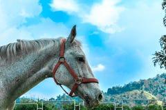 Cavalo branco nos estábulos Fotografia de Stock
