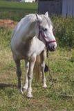 Cavalo branco perto da cerca de madeira Imagens de Stock Royalty Free