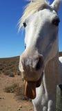 Cavalo branco perto de Matjiesfontein, grande Karoo, África do Sul imagens de stock