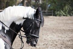 Cavalo branco preto Fotos de Stock Royalty Free