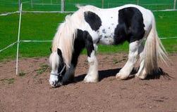 cavalo Branco-preto. Imagens de Stock