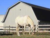 Cavalo branco que alimenta na cerca Fotos de Stock Royalty Free