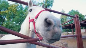 Cavalo branco que aspira à objetiva na cerca filme