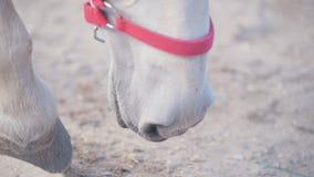 Cavalo branco que bate um casco na terra na cerca vídeos de arquivo