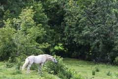 Cavalo branco que come a grama em um prado fotografia de stock royalty free