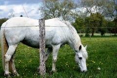 Cavalo branco imagens de stock royalty free
