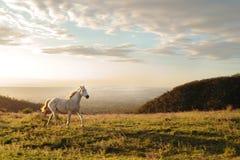 Cavalo branco que corre no monte com flores selvagens Fotografia de Stock Royalty Free