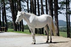 Cavalo branco que está ainda Foto de Stock Royalty Free