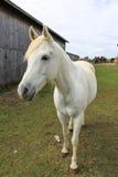 Cavalo branco que está pelo celeiro Imagem de Stock