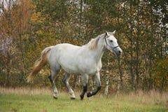 Cavalo branco que galopa livre no outono Fotografia de Stock Royalty Free
