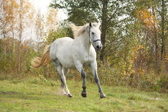 Cavalo branco que galopa livre no outono Foto de Stock Royalty Free