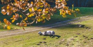 Cavalo branco que joga a grama verde perto de uma estrada perto de uma floresta Foto de Stock Royalty Free