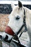 Cavalo branco que levanta-se no fim da neve imagem de stock royalty free