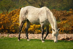 Cavalo branco que pasta Fotografia de Stock