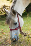 Cavalo branco que pasta Imagens de Stock Royalty Free