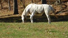 Cavalo branco que pasta em um campo video estoque