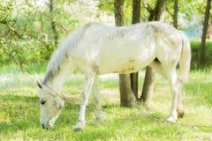 Cavalo branco que pasta em um pasto verde fresco fotografia de stock