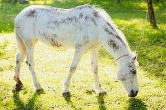 Cavalo branco que pasta em um pasto verde fresco fotos de stock