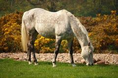 Cavalo branco que pasta no prado Imagens de Stock