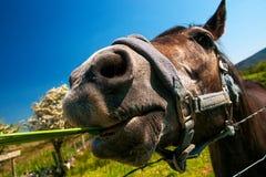 Cavalo brincalhão no condado Galway de Connemara Imagem de Stock